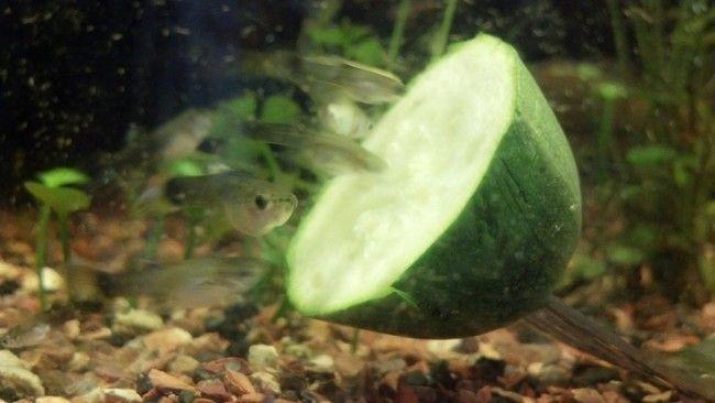Мальки гуппі їдять огірок.