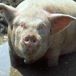 Швидкий відгодівлю свиней