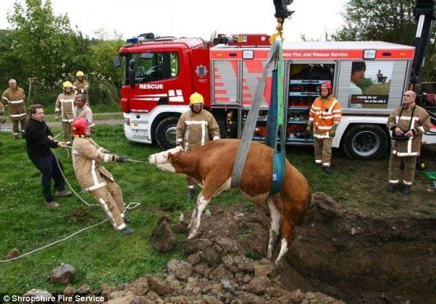 Під час випасу худоби пастух помітив зникнення корови. Він виявив її в старому колодязі