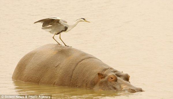 Чапля полювала не злазити зі спини гіпопотама