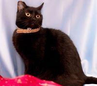 бомбейська кішка купити