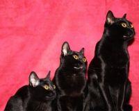 бомбейська кішка фото ціна