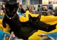 бомбейська кішка продаж