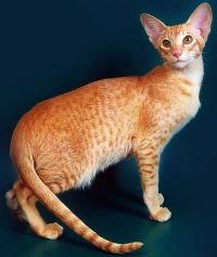 орієнтальна кішка ціна