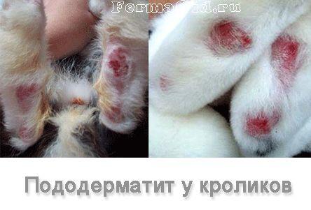 Підошовний дерматит у кроликів