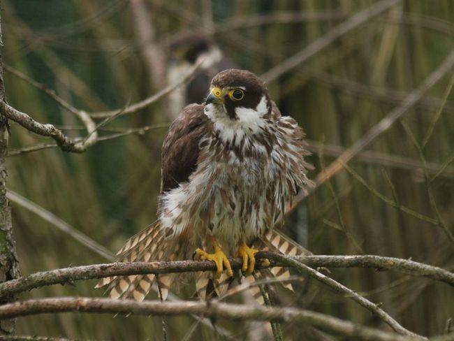 Чеглок (Falco subbuteo).