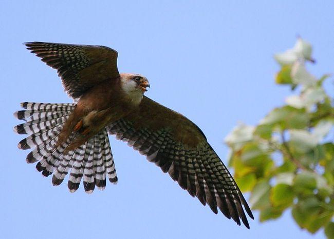 Птах чеглок - безстрашний хижак.