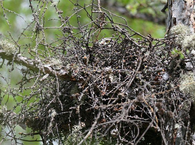 Чеглок люто охороняє своє гніздо.
