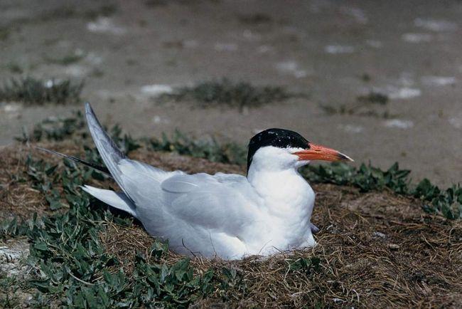 Чеграва відкладає 2-3 яйця раз на рік в гніздечку, яким служить плоска ямка у піску.