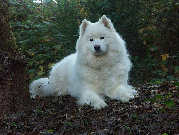 Одна з найдавніших порід собак - самоїдська