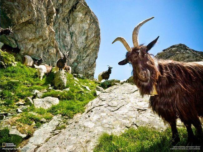Людина-коза вийшов на зв`язок