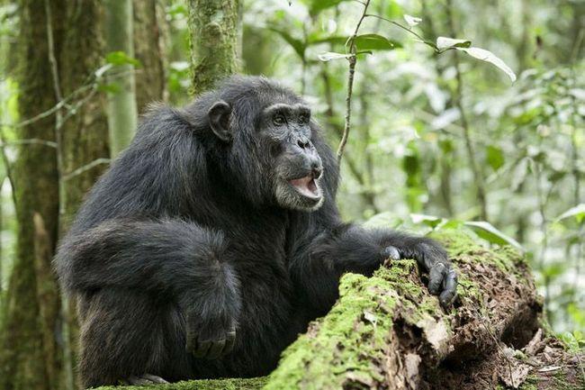 Звичайний шимпанзе (Pan troglodytes).