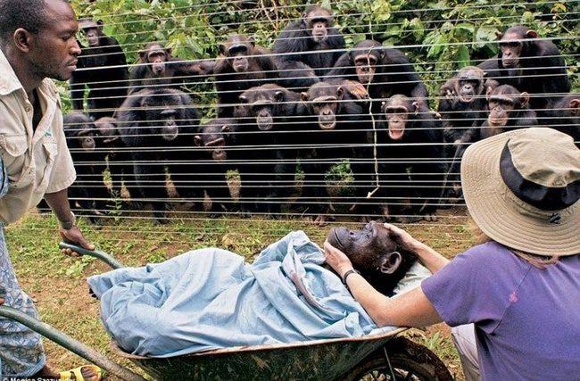 Група шимпанзе бонобо (Pan paniscus) з неприхованою заклопотаністю спостерігає, як співробітники Центру з порятунку шимпанзе вивозять тіло їх подруги - 40-річної самки Дороті, яка померла від серцевого нападу.