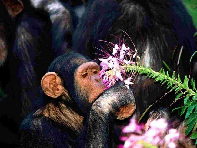 Шимпанзе здатні засвоювати абстрактні поняття, наприклад, це тварина уважно вивчає неїстівний квітка.