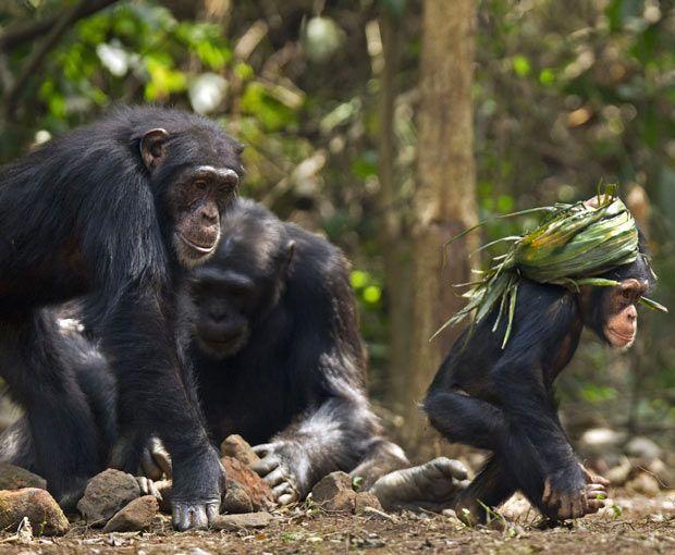 Дитинча шимпанзе змайстрував чалму з скручених листя, на задньому фоні доросла особина орудує камінням.