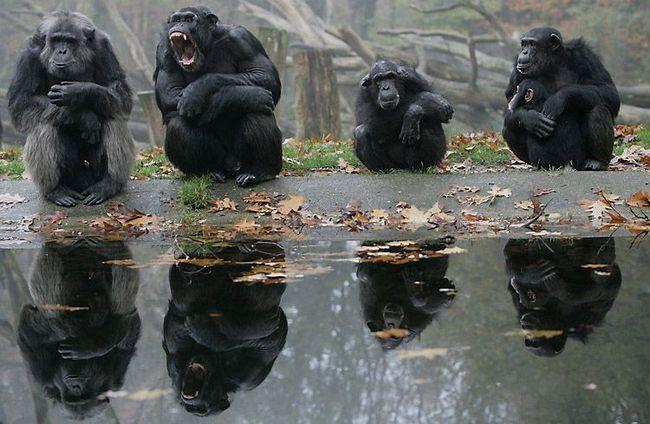 Самець шимпанзе демонстративно позіхає, оголюючи ікла, щоб показати свою владу перед старішим самцем (зліва). Тварини нижчого рангу (самка з дитинчам праворуч) уважно спостерігають за поведінкою лідера.