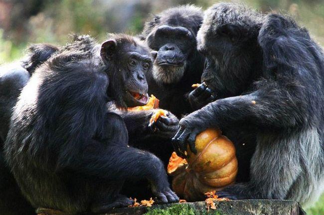 Група шимпанзе в зоопарку поїдає гарбуз.
