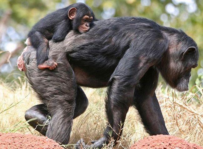 Підросли дитинчат самки шимпанзе носять на спині.