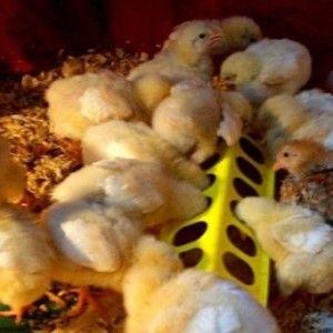 Маленькі гуси їдять з годівниці