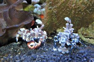 Чим годувати креветок в акваріумі