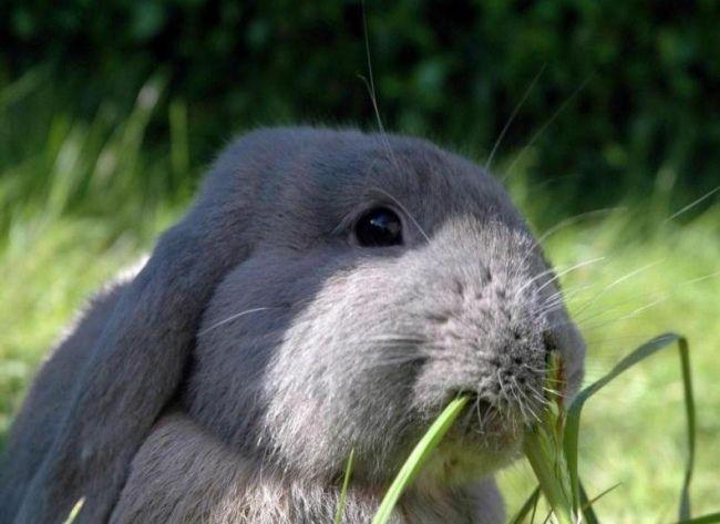 Чим годувати кроликів?