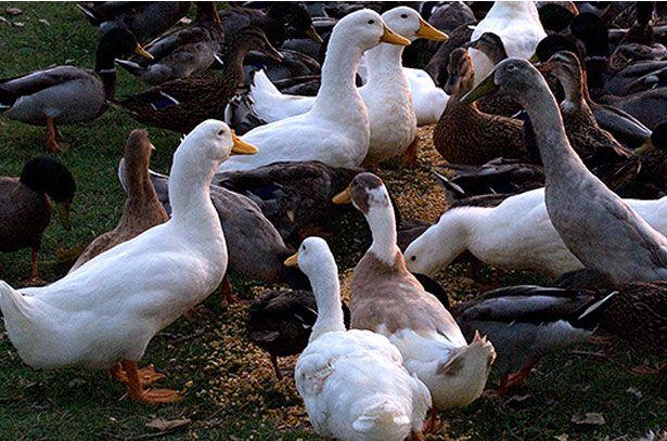 Годування качок злаковими кормами
