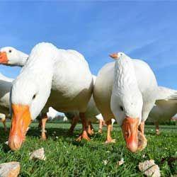 Чим можна годувати гусей в домашніх умовах, раціон і норми в літній і зимовий періоди
