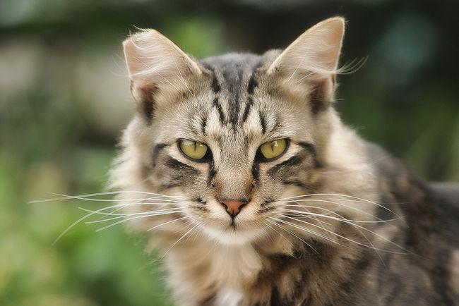 Хламідіоз у кішок: симптоми і лікування