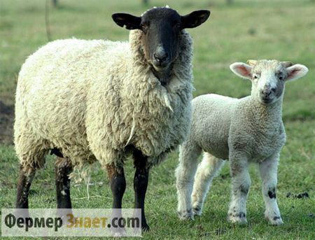 Чим небезпечне таке захворювання овець, як брадзот