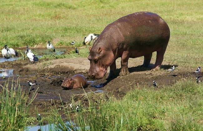 Самка бегемота допомагає дитинчаті спуститися з берега