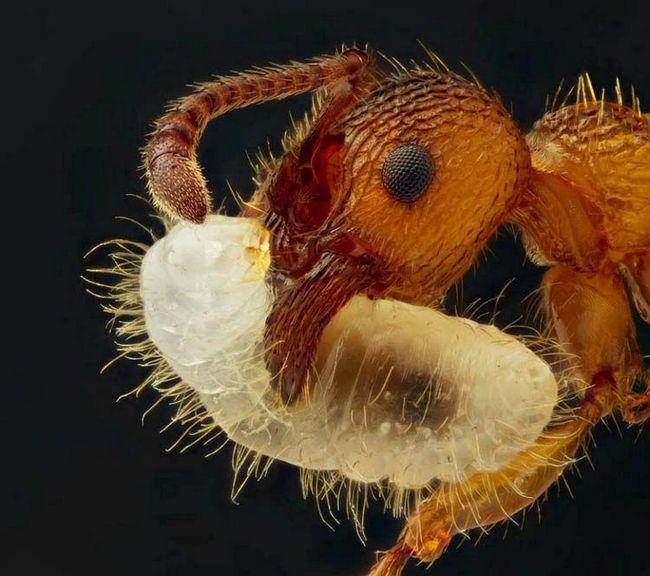 Мурахи - всеїдні комахи.