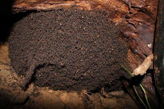Обідом мурашки часто стають гусениці, жуки.