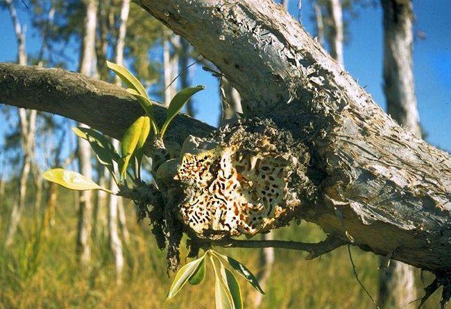 Деякі види мурашок займаються канібалізмом.