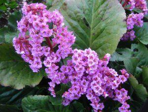 Чим корисний бадан, лікувальний властивості рослини