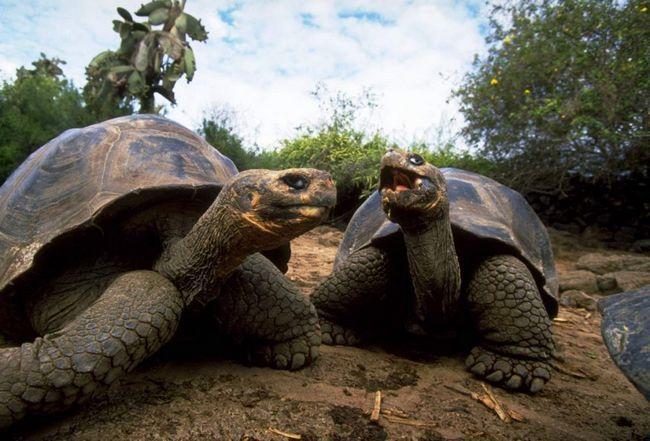 Галапагоські черепахи