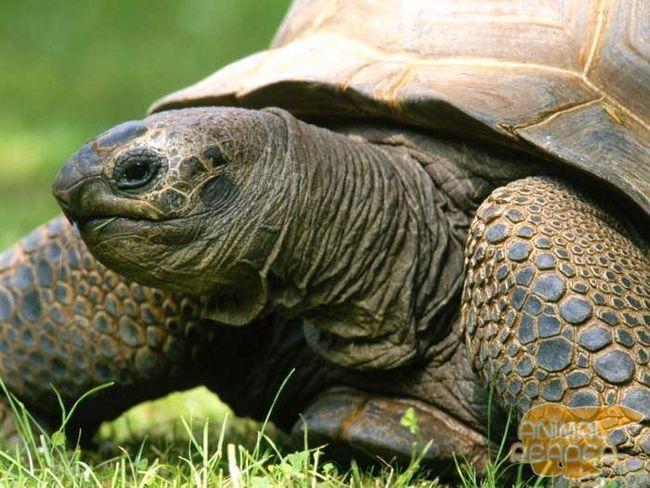 Гігантська черепаха Альдабра - одна з найбільших в світі