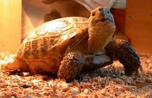 черепаха сухопутна фото