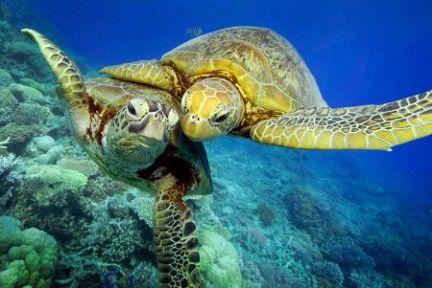 морські черепахи фото