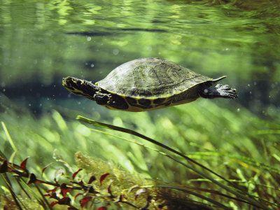 прісноводні черепахи фото