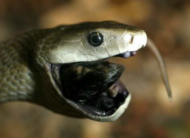Чорна мамба (Dendroaspis polylepis).
