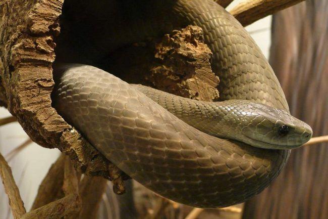 . Довжина змії може перевищувати 3 м.