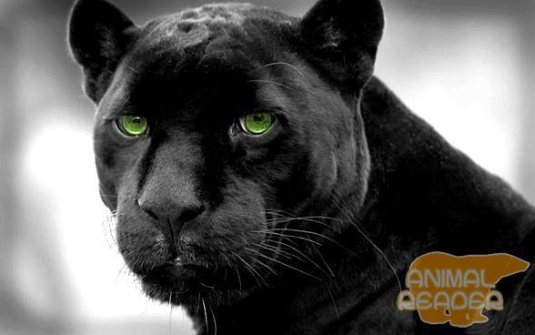Чорна пантера - міфи і факти