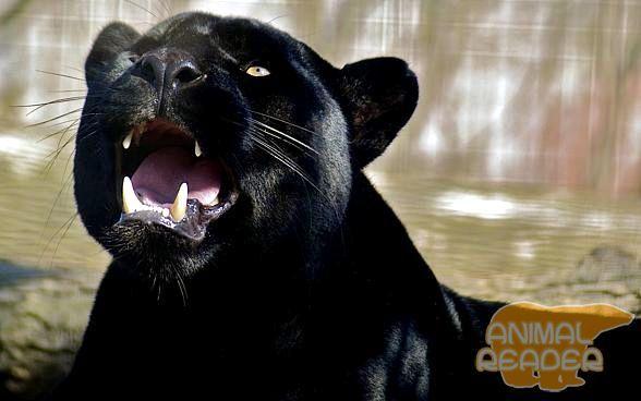 чорний ягуар