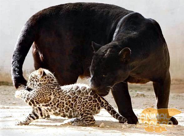 Ягуар - пантера