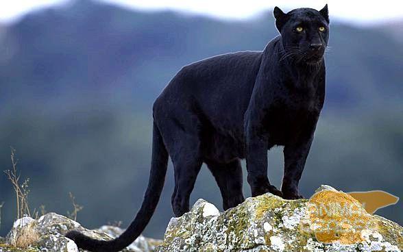Чорний леопард або пантера
