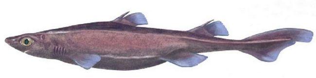 Чорна собача акула (Centroscyllium).
