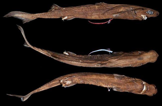 У підстави спинних плавників чорних собачих акул є виразні шипи.