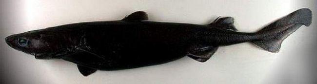 На шкірі собачої акули є особливі точки, службовці приманкою для глибоководного видобутку.