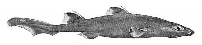 Вважається, що в організмі чорних собачих акула є деяка речовина, що діє як антибіотик.