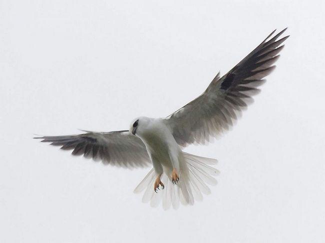 Вперше цей вид був вперше описаний Англійським орнітологом Джоном Летем в 1802 р